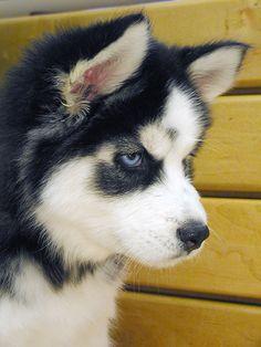 Husky puppy | Koirakuvia.net