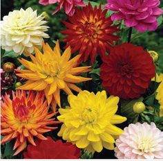Get the beautiful assorted dahlia flowers from Whole Blossoms for your special events.You can get dahlia flowers in different colors. Order  wholesale dahlia flowers in bulk and enjoy free shipping.  For more information visit: http://www.wholeblossoms.com/dahlias/assorted-dahlia-flowers.html