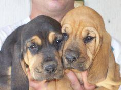 Bloodhound Puppies Hound Dogs Sale .