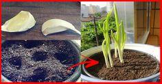 NÃO COMPRE ALHO NUNCA MAIS – Plante Facilmente Alho Na Sua Casa ou Apartamento Com Essa Dica!