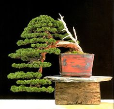 El Tim Bonsai: Conozcamos nuestra historia 2: 1999 II Ginkgo Bonsai Award Bonsai Art, Bonsai Garden, Bonsai Trees, Junipero, Miniature Trees, Growing Tree, Small Trees, Plant Holders, Ikebana