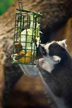 lemur enrichment - Google Search