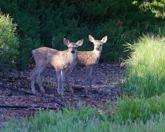 I love how Rick Derevan captured the moment this pair is illuminated by a patch of sunlight. These are California mule deer, one of the several different subspecies of mule deer (Odocoileus hemionus) found western North America.