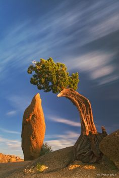 juniper and monolith,  joshua tree national park