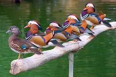 mandarin ducks a males one female