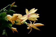 yellow christmas cactus .--I have my Gma's--still pretty..
