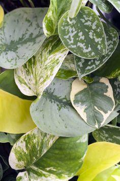 Die Blätter der Efeutute in Nahaufnahme  #efeutute #zimmerpflanzen #pflanzen #indoor #wohnzimmer #Epipremnum #pflanzenfreude