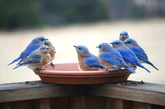 Thirsty bluebirds in winter by Danny Brown
