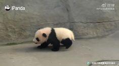 Cute Wild Animals, Cute Little Animals, Cute Funny Animals, Animals Beautiful, Animals And Pets, Panda Funny, Cute Panda, Animal Antics, Cute Animal Videos