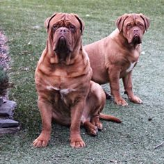"""Double Trouble#mastiff #mastiffsofinstagram #doguedebordeaux #frenchmastiff #dog #dogs #doglover #dogoftheday #dogsofinstagram #boxer #bully #bulldog #latergram #love #life #instadog #instacool #instagood #instalove #instagreat #puppy #petsagram #picoftheday #photooftheday #petsofinstagram #puppiesofinstagram #cute #sweet"" Photo taken by @gypsiegirls on Instagram, pinned via the InstaPin iOS App! http://www.instapinapp.com (01/19/2015)"