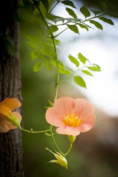 trumpet creeper (Campsis radicans),  by james cory on 500px