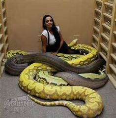 Reticulated Python Morphs - Bing images