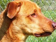 0581 - URGENT is an adoptable Hound Dog in Warner Robins, GA. This is a reddish color adult male hound/lab/dane mix. He is a really leggy boy that walks really good on a leash, does not pull. He likes...