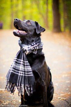 dog photography black lab