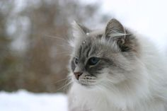 Gorgeous Snow Cat