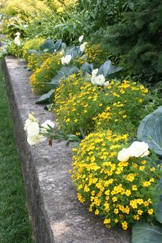 Fascinating mixture of cabbages, primroses and golden coin (I think) topped a concrete retaining wall that surrounded espaliered apple trees.