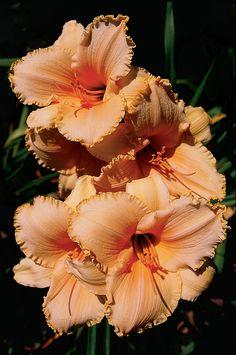 Apricot daylily