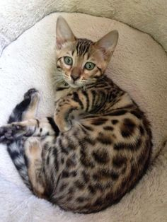 reunited 7/6/14 My 5 month old Bengal got out. He's been seen around Saulters Pond area in Manchester. Possibly near Ambassador in the condos also. If anyone sees him call 860-209-2276