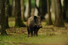 Le sanglier dans les forêts du Nord et du Sud : 20 animaux à observer dans leur état naturel en France - The time when Obelix hunted wild boar in Brittany is perhaps not so far away ... In France, it is still present over most of the territory. Of course, it is found in Corsica and in the Mediterranean region but also throughout the North-East quarter. Its preferred habitat remains the forest. © Fotolia - thier