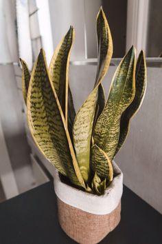 Sansevieria trifasciata #aloeveraplantindoor Aloe Vera Plant Indoor, Indoor Plants, Sansevieria Trifasciata, Cactus Plants, Garden, Top Coat, Outfit, Houses, Needlepoint