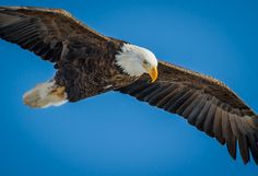 Colors in Nature- The American Bald Eagle | Flickr - Photo Sharing!