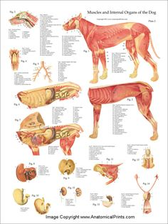 Dog Muscular Anatomy Poster