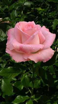 Wonderful Photo single Pink Roses Thoughts Bouquets usually are an ideal means to convey people's feelings. For millennia, tulips get pulled in folks Amazing Flowers, Love Flowers, My Flower, Flower Pots, Pretty Roses, Beautiful Roses, Lavender Roses, Pink Roses, Morning Rose