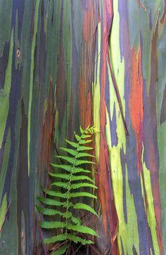 Tronco del eucalipto Arco Iris