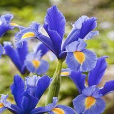 gefranste tulpe fancy frills 10 blumenzwiebeln g nstig online kaufen bestellen sie schnell. Black Bedroom Furniture Sets. Home Design Ideas