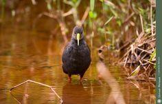 Observação de Aves: Saracura-sanã (Pardirallus nigricans) / Blackish Rail