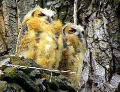 Great Horned Owl babies in Colorado. Photo by Deanna Gubler Beutler