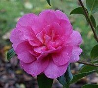Sparkling Burgundy Camellia Sasanqua - Camellia sasanqua 'Sparkling Burgundy'