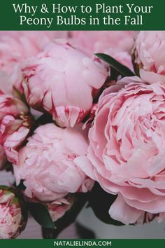 Peonies do best when planted in the Fall. Learn how to plant peony bulbs and how to prune and care for this showy perennial so it comes back year after year! Peony Flower, Flower Beds, Peony Plant, Tree Peony, Flower Blossom, Cactus Flower, Flower Images, Flower Photos, Gardening For Beginners