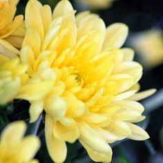 Butter Yellow Chrysanthemum  #flowerphotography #macrophotography Yellow Chrysanthemum, Lilies Of The Field, Scorpion, Macro Photography, Hana, Grass, Butter, Miniatures, Wedding Ideas