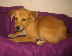 Sandra - 3 month old, spayed female, lab/husky mix ID#071912G