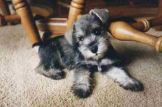 Ranked as one of the most popular dog breeds in the world, the Miniature Schnauzer is a cute little square faced furry coat. It is among the top twenty favorite Mini Schnauzer Puppies, Standard Schnauzer, Miniature Schnauzer Puppies, Cute Puppies, Cute Dogs, Dogs And Puppies, Doggies, Baby Animals, Cute Animals