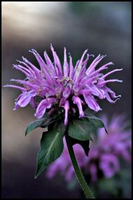 Bee Balm Didn't know it came in other colors! Cut Flowers, Pretty Flowers, Garden Trees, Growing Herbs, Edible Garden, Shades Of Purple, Container Gardening, Garden Landscaping, Flower Power