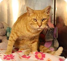 Valley Falls, KS - Domestic Shorthair. Meet Iris, a cat for adoption. http://www.adoptapet.com/pet/12161674-valley-falls-kansas-cat