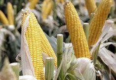 En el marco de las políticas que impulsan el liderazgo global de Argentina en el sector y, el Ministerio de Agroindustria aprobó, a través de la resolución 96 E/2016 publicada hoy en el Boletín Oficial, un nuevo evento biotecnológico para el maíz que