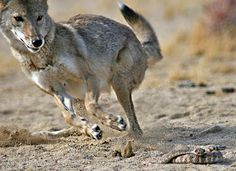 AdamsRacing: The Coyote and the Rattlesnake. Near Pala, CA. Typical CA coyote - lots of rust and black shadings. No plain browns here! Desert Animals, Mojave Desert, Interesting Animals, Guide Dog, Wild Dogs, Animal Totems, Native Art, My Animal, Animal Kingdom