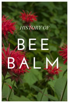 The History Of Bee Balm - Gardening Know How's Blog