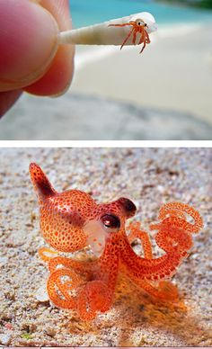 All of human history has led us to the moment that we developed the technology to digitally add a top hat to a photo of an adorable miniature octopus. Just look at how fucking dapper that octopus looks. Tiny Octopus, Little Octopus, Cute Octopus, Red Octopus, Octopus Squid, Tiny Fish, Beautiful Creatures, Animals Beautiful, Baby Animals