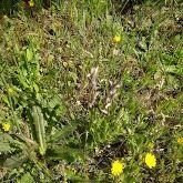 Dedicada la mañana a buscar plantascarnívorasyOrquídeasIbéricas,de pasohemostopado con un hermoso ejemplar deLagartoVerde,grande,mas de 40 cm,mañanaincreíbleconclientesapasionados como yo delospequeñosdetalles que tantas veces caminando por nuestro campos nos pasan desapercibidos..me comentaba un cliente Ingles quemeacompañaba que en Inglaterra esta prohibido cortar flores silvestres..quiero que copienaquí.. les han encanado las plantasCarnívorasy las Serapias(orquídeas)