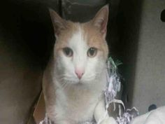 PULLED BY ALL SENTIENT BEINGS - 12/14/15 - CHAMPAGNE - #A1060056 - - Brooklyn  ***TO BE DESTROYED 12/13/15***SWEET BUT SAD DECLAWED CREAMSICLE NEEDS NEW HOME FOR THE HOLIDAYS AND FUREVER! Champagne is a six year old declawed orange angel who lived with his family since he was a kitten.
