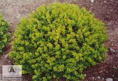 Sh-Berberis thunbergii 'Kobold' - Barberry, 'Kobold' Japanese barberry