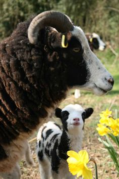 Jacob lamb Looking adoringly at its mum :) Jacob Sheep, Farm Family, Counting Sheep, Sheep And Lamb, The Shepherd, Down On The Farm, Farm Yard, Sheep Wool, Llamas