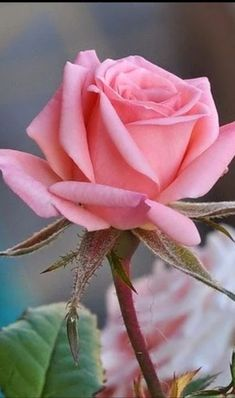 The key issue is to pick a rose which you find beautiful, and that suits your garden. The rose is a kind of flowering shrub. Beautiful Rose Flowers, Amazing Flowers, Beautiful Flowers, Flower Images, Flower Pictures, Pink Roses, Pink Flowers, Lavender Roses, Paper Flowers