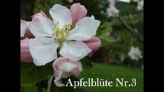 Helping Flowers-Nr. 3 Apfelblüte Rose, Flowers, Plants, Products, Knowledge, Florals, Pink, Roses, Plant