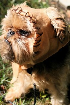 Ive never heard of a brussell griffon until tonight but O.M.G. I want one so I can dress it like this lol zombiemom559