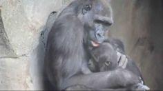 EBO, el primer gorila nacido en BIOPARC Valencia cumple 3 años el 26 de octubre. Vídeo recopilación de imágenes desde su nacimiento. Más información: www.bioparcvalencia.es